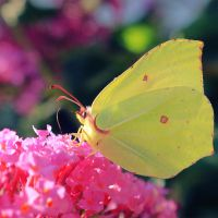 Brimstone Butterfly by Leavylaulada