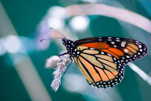 monarch butterfly by eternallymused95