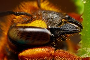 Cuckoo Bee Portrait II by dalantech