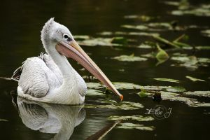 Pelican by EliseJ-Photographie