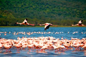 Flying Flamingoes by porpierita