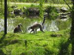 Ring tail Lemurs by gurukitty