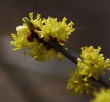 Sassafras Flowers by Matthew-Beziat
