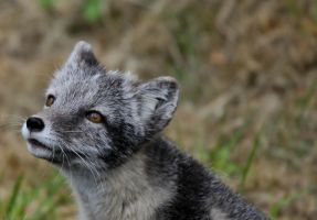 Cute arctic fox by JennyTangen
