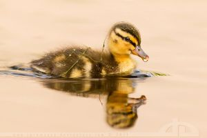 CamoDuckie by thrumyeye