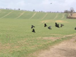 flying crows stock 4 by dark-dragon-stock