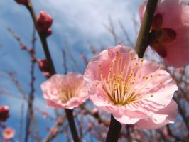 Japanese apricot in Tokyo 702 by hirolu