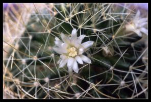 cactus flower by wasd