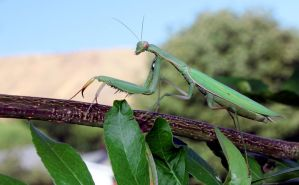 Mantis among the branches by VileYonderboy