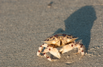 Calico Box Crab by Pinedrop