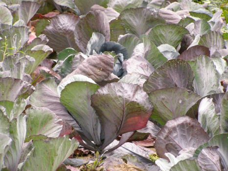 cabbages by lalousha2