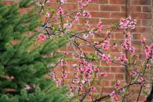Cherry Blossoms 4 by toxicsoil