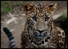 leopard: take me home, please by morho