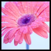 Gerbera 3 by ziw-monster