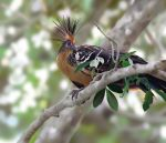 Hoatzin - a weird bird by mhummelt