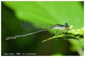Damselfly Snacking by microcosmos