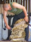 Sheep Shearing by FluteJazz