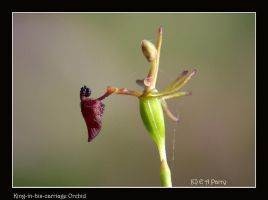 King-in-his carriage Orchid by AdamsWife