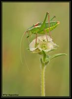 Green and Red Grasshopper by sapog