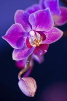 ORCHID by ELKAPL
