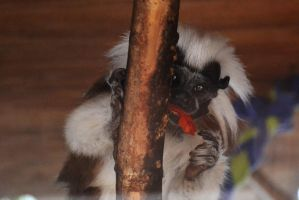 Waccatee Zoo Tamarin 2 by MrsChibi