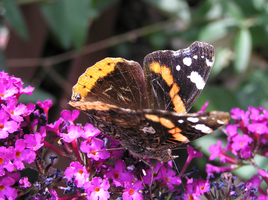 Butterfly 22-07-2015 -7 by 69raywwf