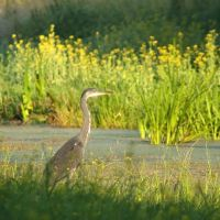 Heron and yellow flowers by steppeland
