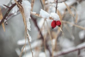 snow berries by cloe-patra