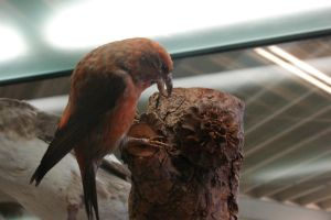 Texel: Mounted Red Crossbill by Lot1rthylacine