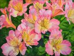 Alstroemeria flowers by Shelter85