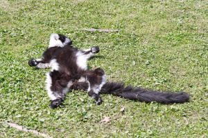 Lemurien fait le mort - Lemur do death by Artnicow