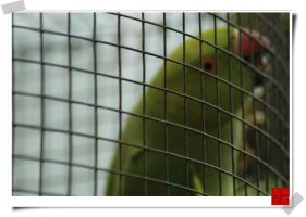 Caged Bird by kenyin