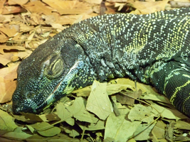 Sleeping Komodo by Sherrys-Camera