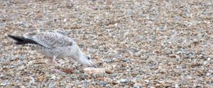 Hungry seagull... by furiousbullet