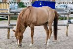 Red Dun Pony 2 by Colourize-Stock