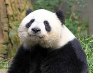 Panda by rainylake