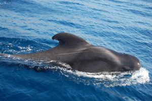 Pilot Whale by drokkie