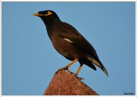 Common myna by KlaraDrielle