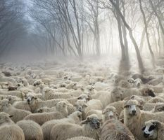 The Flock with Golden Fleece by borda
