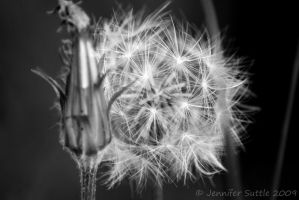 Dandy Black and White by jayshree