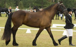 Partbred Friesian strong walk by Araluen-Ekala