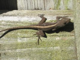 Brown Anole 18 by AxelHonoo