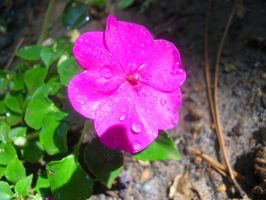 Pink Impatiens by AleighaRawr