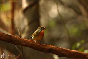 Red-billed leiothrix by fahadee