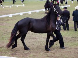 STOCK - Friesian Show 2012-25 by fillyrox