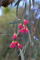 Eucalypt Flowers by MayEbony