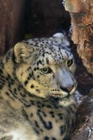 Snow Leopard 'Nanga' by James-Marsh