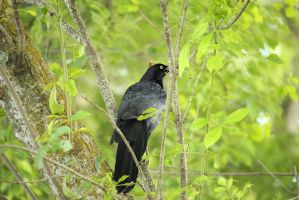 Grackle In The Trees by kwuus