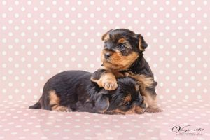 Baby Yorkies by VenjaPhotography