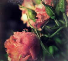 Rose Water Drop by Miranda-Doughty